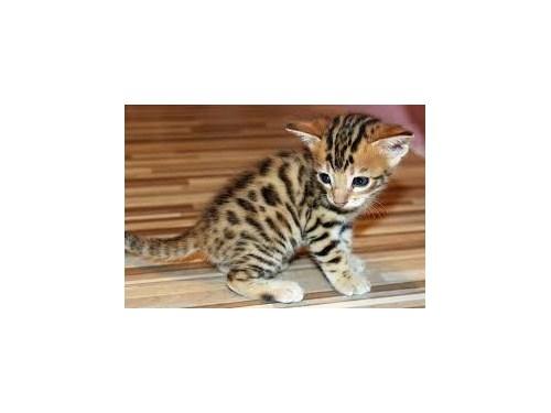 Bengal Kitten for Adoptio