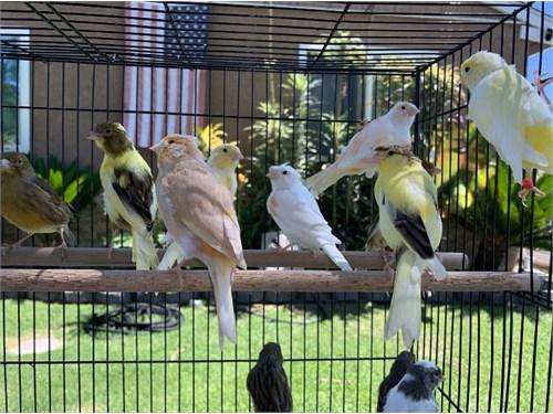 Beautiful Canaries