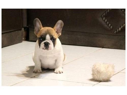 French Bulldog pupp