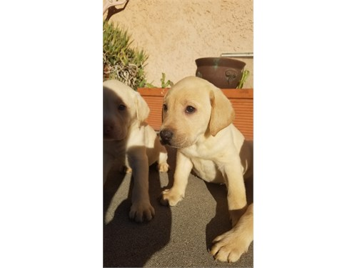 White and yellow Labs