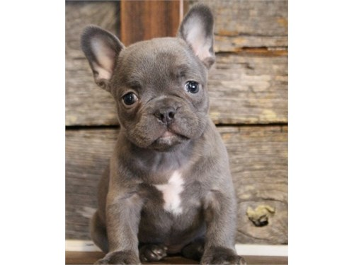 Lovely Akc M/F Frenchies