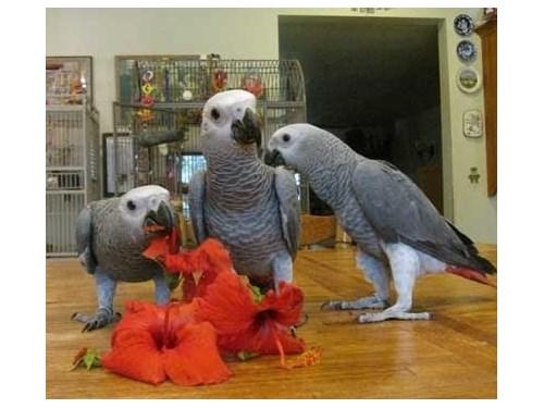 3 African Grey parrots