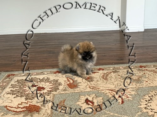 AKC Sable Male Pom