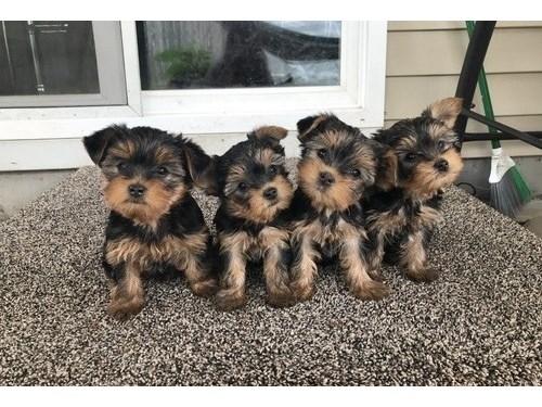 PECTACULAR Yorkie puppies