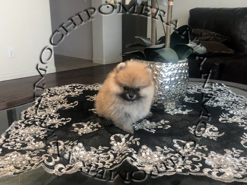 AKC Teacup Orange Pom