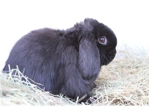 Hollywood Rabbits