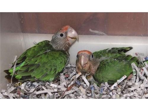 Cape Parrot Babies