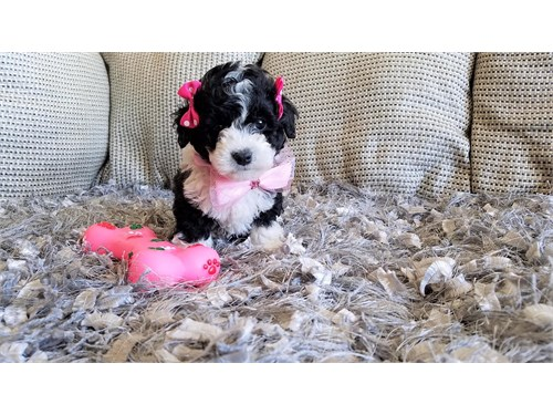 Toy Female Maltipoo Puppy