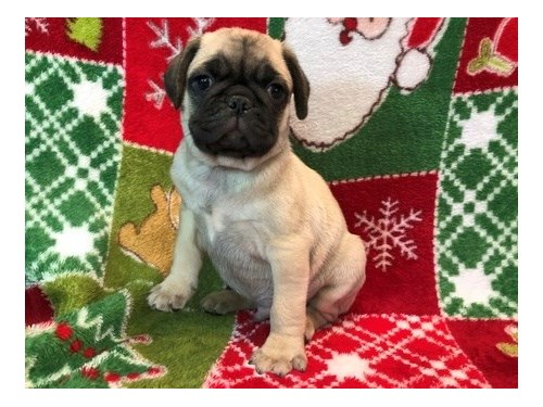 AKC Fawn Pug Male