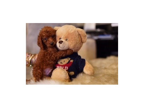 goldendoodle toy/mini