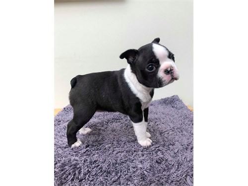 Oyn Boston Terrier Pups