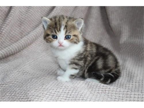 Exotic shorthair kittens.