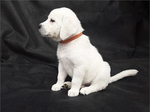 White AKC Lab Pups