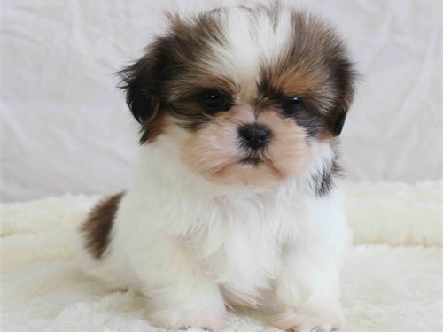 Adorable boy shih-tzu