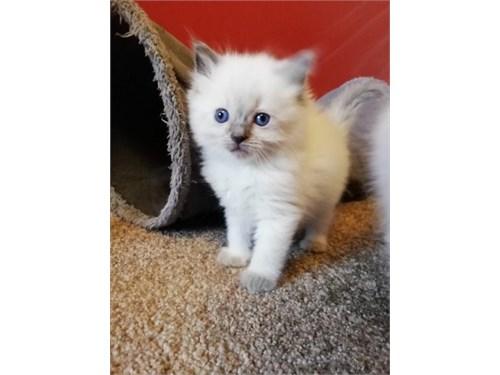 Ragdoll kittens rehome