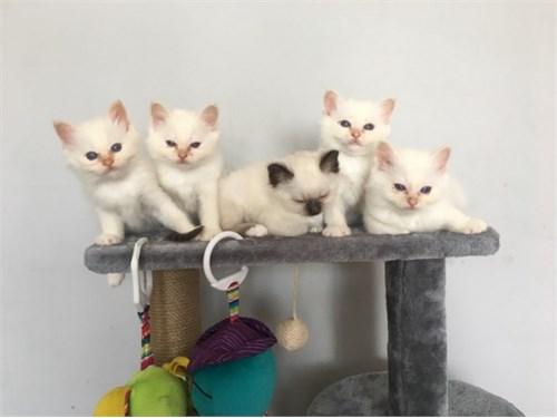 Sweet Birman Kittens..