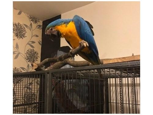 faithful Blue/Gold Macaw