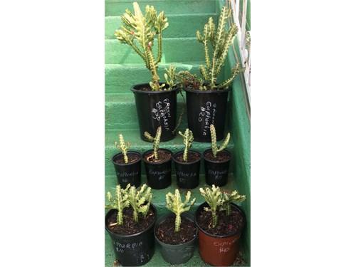 Variegated Euphorbia