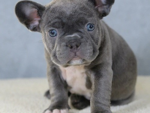 Cory Blue Male Frenchie