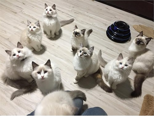 Lovely Ragdoll cats