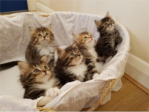 Coming Siberian kittens