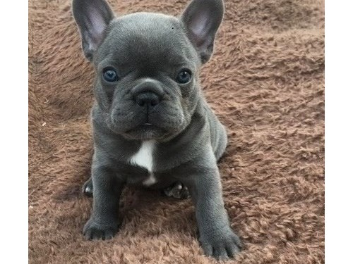 French Bulldogs @ Pups