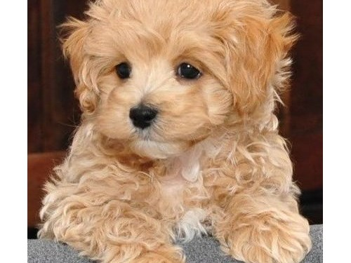 Malti Poo Puppies Ready
