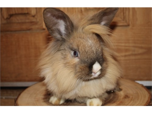 Lionhead for adoption $25