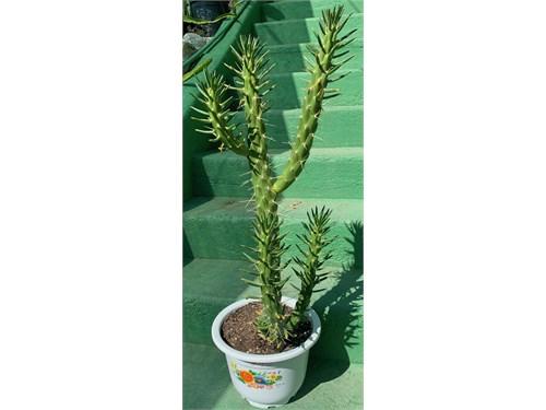 Eve's Needle Euphorbia