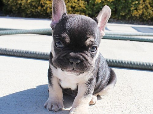 Black/Tri French Bulldog