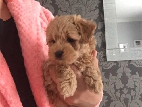 Sweet Teacup Maltipoo Pup