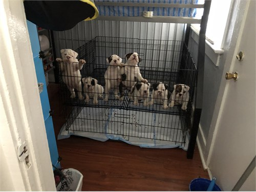 AKC English bulldog pups