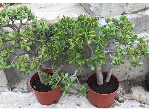 Enormous JaDe Plants