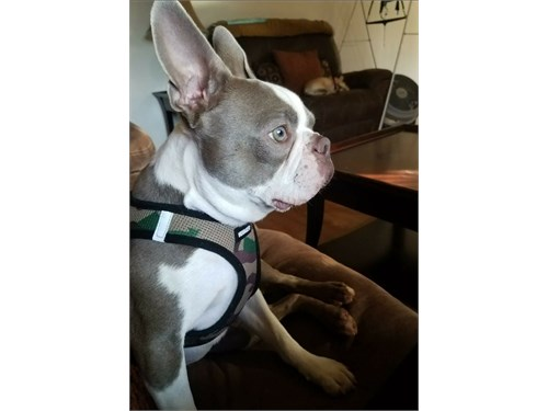 Lilac Boston Terrier Stud