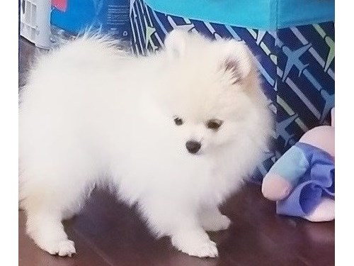 Awesome Pomeranian pup