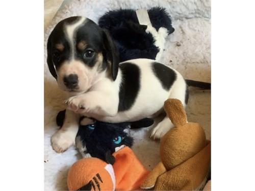 AKC Mini-Dachshund Pups