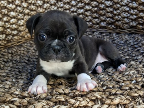 Pug Frenchie Mix Puppies