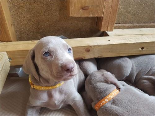 Beautiful Weimaraner Pups