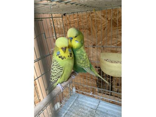English parakeets
