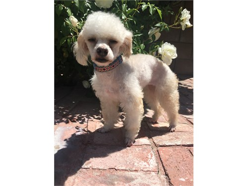 Female Pure Toy Poodle