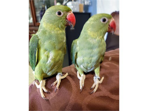 Tame Indian Ringnecks