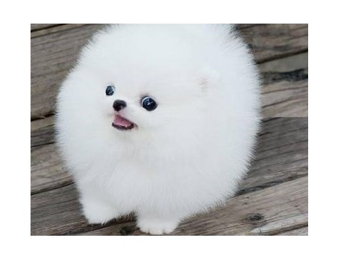 M/F Pomeranian puppies