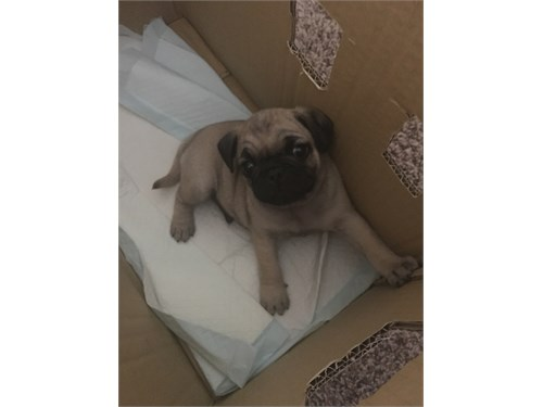 2 Male Pug puppies