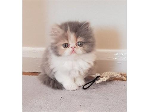 Stunning Persian Kittens