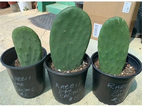 Cheap Rabbit Ear Cactus