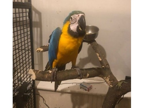 helpful Blue & Gold Macaw