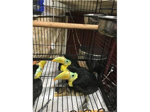 Keel bill toucan babys