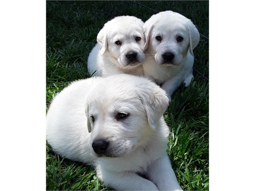 White English Lab Puppies