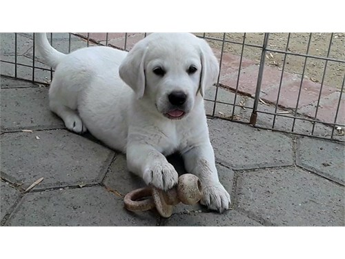 White English Lab Puppies