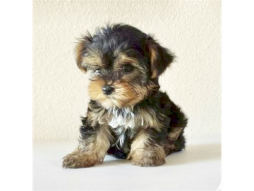 YORKIE PUPPY FOR SALE | Pets | Glendale CA | recycler com